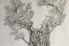old olive tree drawing - ink  100cm x 70cm