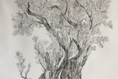 old olive tree drawing - ink 100cm x70cm